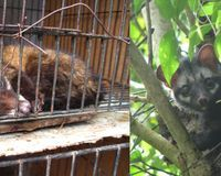 Save the Asian palm civet from cages!