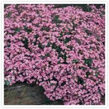 Saponaria ocymoides ZEEPKRUID. Groenblijvende boord- en kruipplant met liggende stengels en eirond tot lancetvormig blad. Bloeitijd mei-juni. Kleine roze bloemetjes. Standplaats volle zon. Plantafstand 25cm. Hoogte 15cm. Geen bijzondere zorg nodig. Zeepkruid is te vermeerderen door de planten te scheuren.