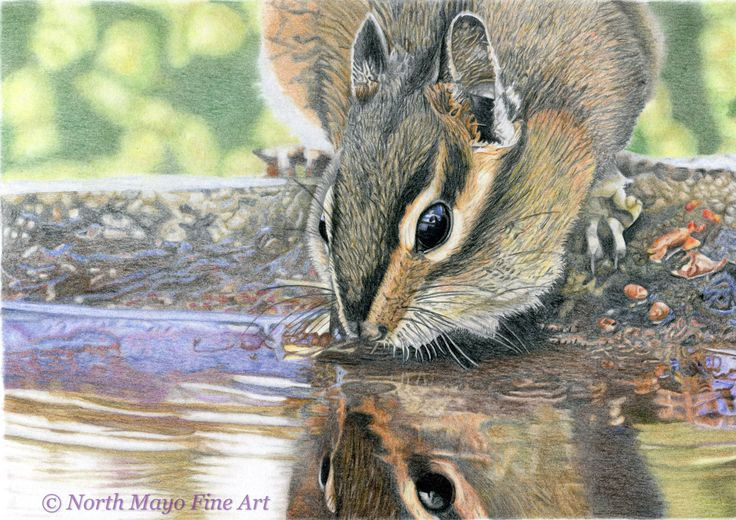 'Chipmunk taking a drink', in coloured pencil