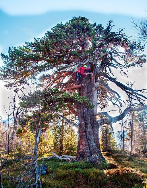 Lars Inge Harrang måler kor langt dette furutreet er. (Foto: Morten Gåsvand)