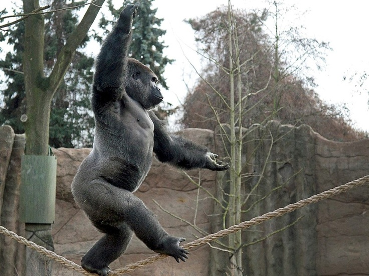 Gorilla walking on a rope Walk the line