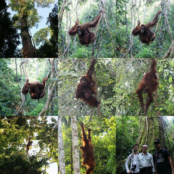 Orang utan,north sumatra