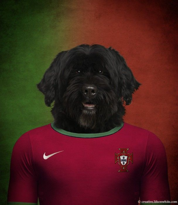 Portugal : chien d'eau portugais