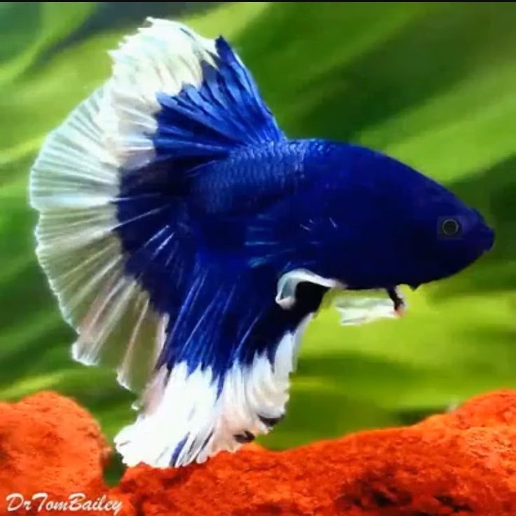 918 best images about fish water life on pinterest for Betta tropical fish