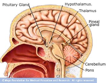a description of the anatomy and physiology of the pituitary gland Free practice questions for human anatomy and physiology - gland physiology the pituitary gland can be further divided into the anterior and posterior pituitary.