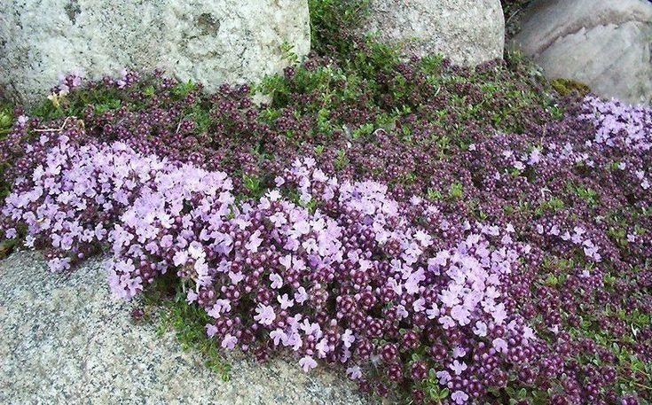 Kangasajuruoho. Puolivarpu joka muodostaa tiheän mattomaisen ikivihreän kasvuston. Kukkii runsaasti ja koko kasvusto tuoksuu voimakkaasti. Arka talvimärkyydelle.