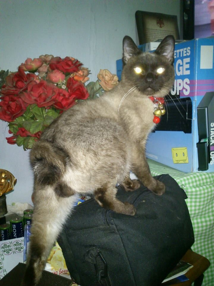 My Male Siam Cat Dizzy Fox Bean Add Him At Facebook With That Name And See His Videos At You Tube !!!