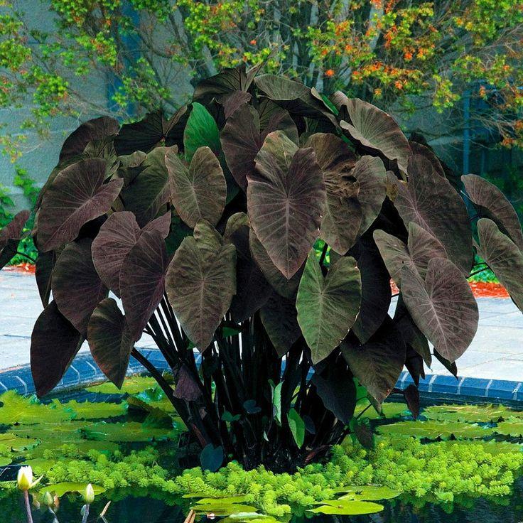 Colocasia cv. 'Black Magic'