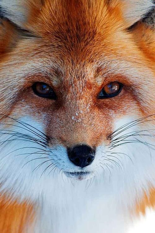 Red fox--Photographers amaze me when they grab shots like this!!!