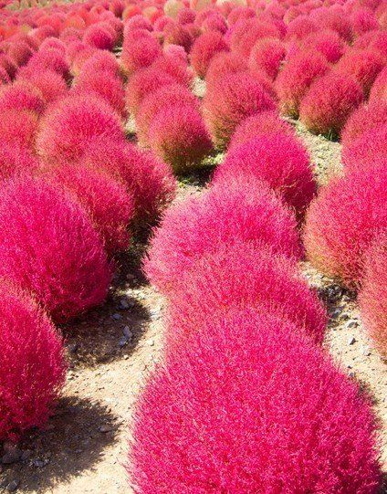 Kochia Scoparia Grass - OMG! I need this in my future yard. How Dr. Seuss looking is this stuff