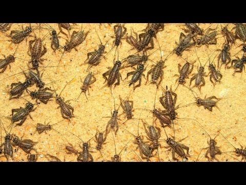 How to house crickets without smell - YouTube