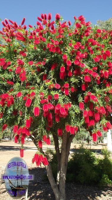 Mais De 1000 Ideias Sobre Árvores Callistemon No Pinterest ~ Anao De Jardim Forro In The Dark