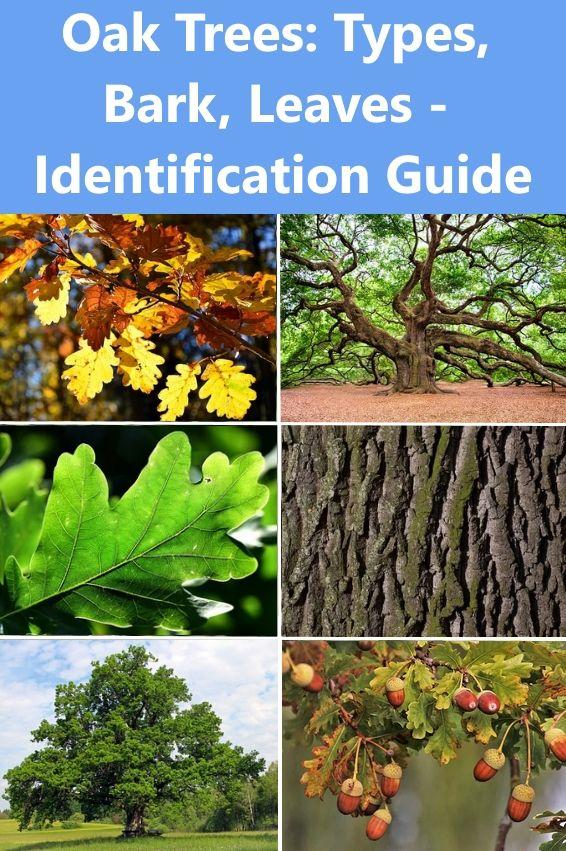 Oak Trees Types Bark Leaves Identification Guide Oak Trees Landscaping Tree Identification Red Oak Tree