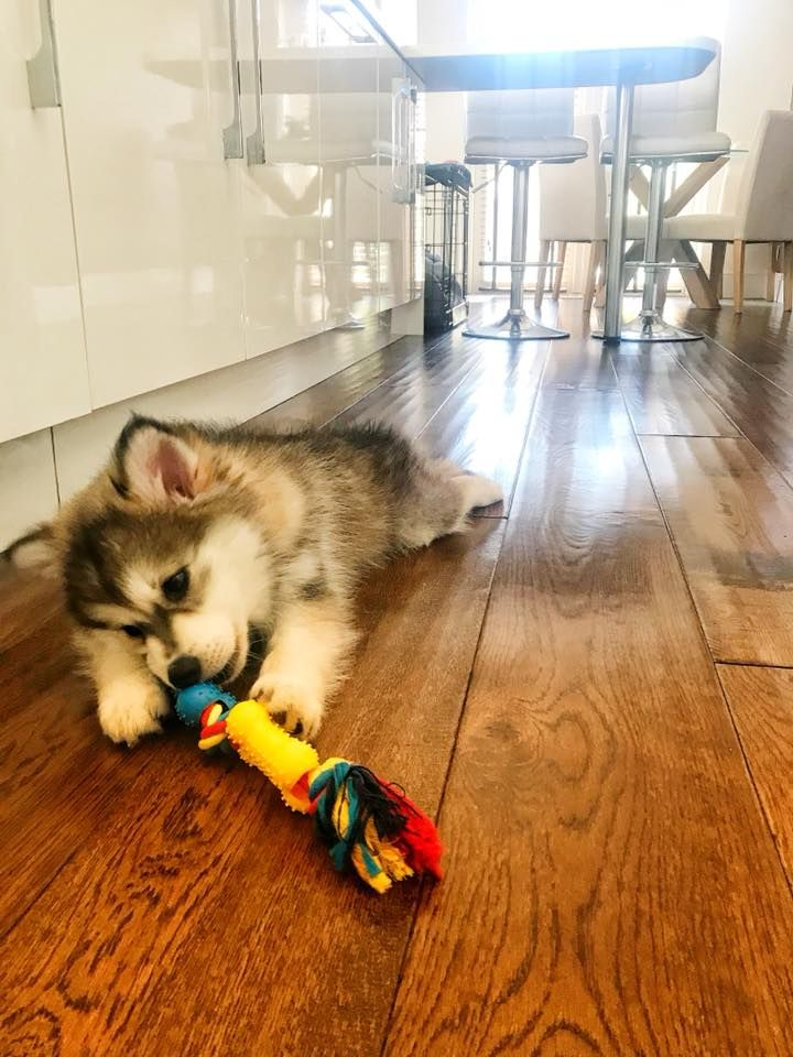 Lucy S Uk Pomsky Puppy X Settling Into New Home Day 4 Sleeping