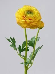 images of renonkel flowers - Google Search