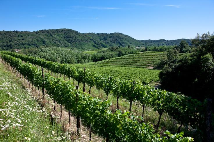 Vineyards at Ruttars, Collio area.