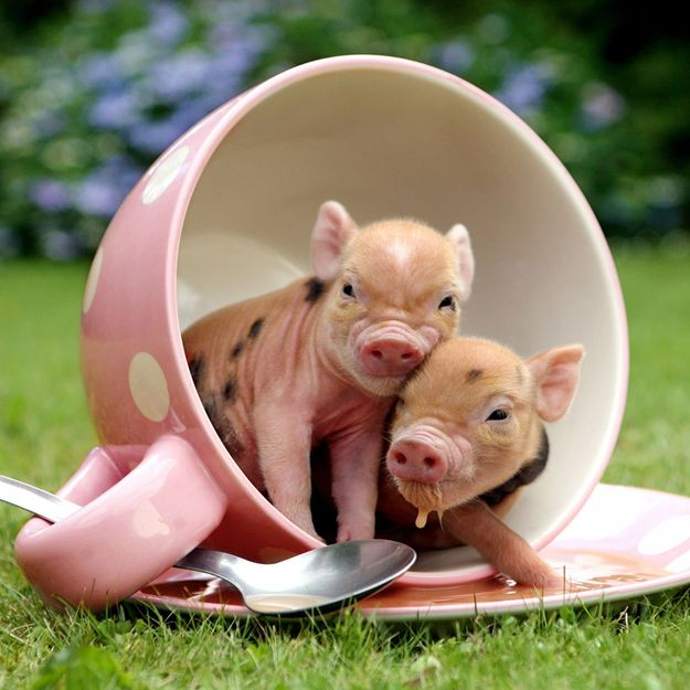 """TWO PIGS SMALL ENOUGH TO FIT IN A TEACUP"" 