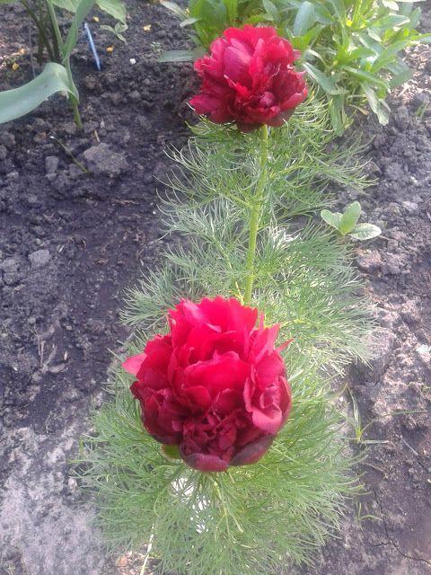 peony tenuifolia rubra plena - majreg