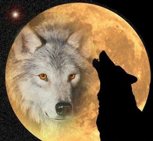 32 Best Indian Wolf Pack Images On Pinterest Wolves