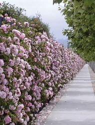 Roses make great hedges and living fences