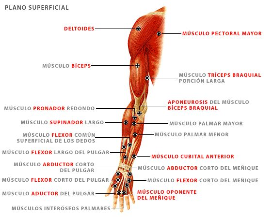 25 best El cuerpo images on Pinterest | El cuerpo, El hueso y El musculo