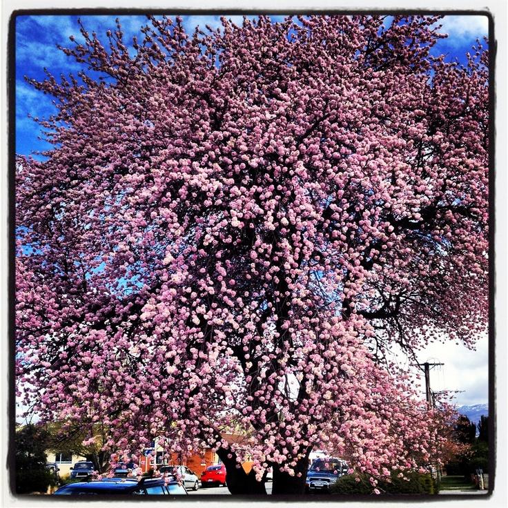 Spring in Central Otago