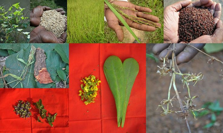 Medicinal Rice based Tribal Medicines for Diabetes Complications and Metabolic Disorders (TH Group-676) from Pankaj Oudhia's Medicinal Plant Database