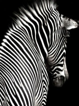 The beauty of a zebra still stuns me as it did when the poor suffering creature was with us on the boat. I pray every day for the suffering he went through due to his broken leg and the aggressive hyena.