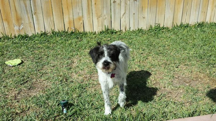 Emma Border Collie & Bearded Collie Mix • Young • Female