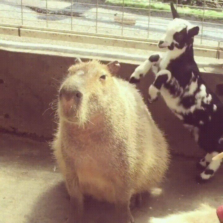 Capybara's are truly the world's chillest animal http://ift.tt/2oX7BnY