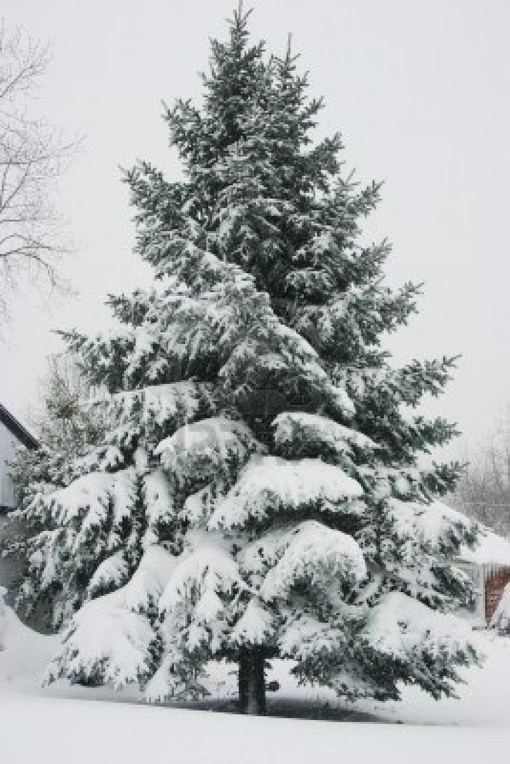 A scattering of spruce along the property line behind the - Images of pine trees in snow ...