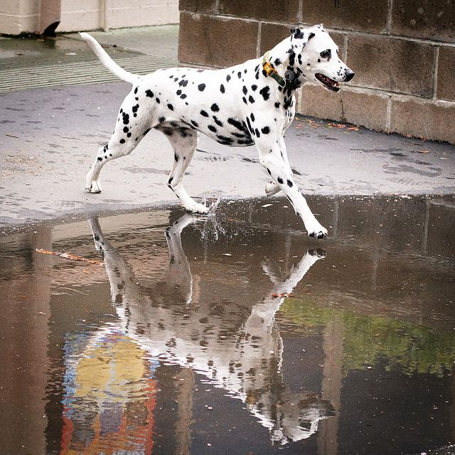 Dalmatian & reflection cross a puddle #dogs