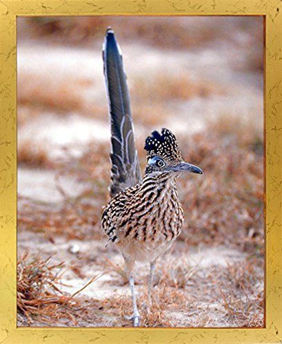 Greater Roadrunner Wild Bird Animal Wall Decor Golden Fra... https://www.amazon.com/dp/B00IR7NCRG/ref=cm_sw_r_pi_dp_x_aarqyb8CZ7A4J
