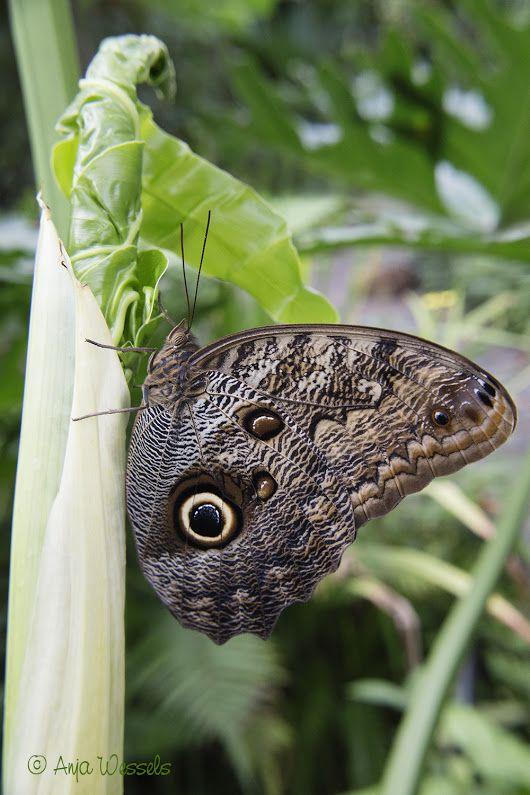 Uilvlinder – Caligo eurilochus – Owl butterfly Een foto uit mijn fotoblog: Vlindertuin in Dierenpark Emmen http://anjawessels.nl/?p=4220 A photo from ... - Anja Wessels Photography - Google+