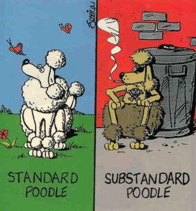 Standard poodles & Substandard poodles :)