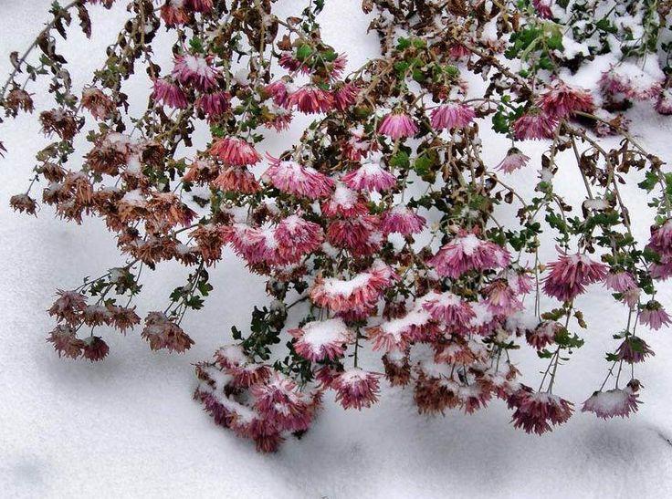 Хризантемы-под-снегом.jpg (859×639)