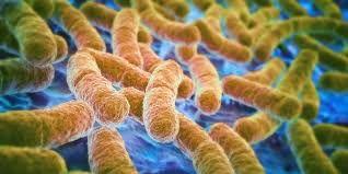 Eennieuwe studiein Cell Host & Microbe legtuit hoe pathogenen rijkelijk kunnen groeien in de darmen door antibiotica. Na een antibioticakuurgroeien ongunstige micro-organismen welig en is m…