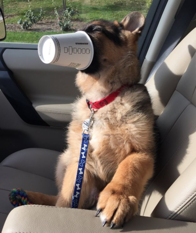 As you can see, Leo REALLY LIKED HIS. | This Puppy Enjoying A Starbucks Puppacino Is Everything You Need Today - BuzzFeed News