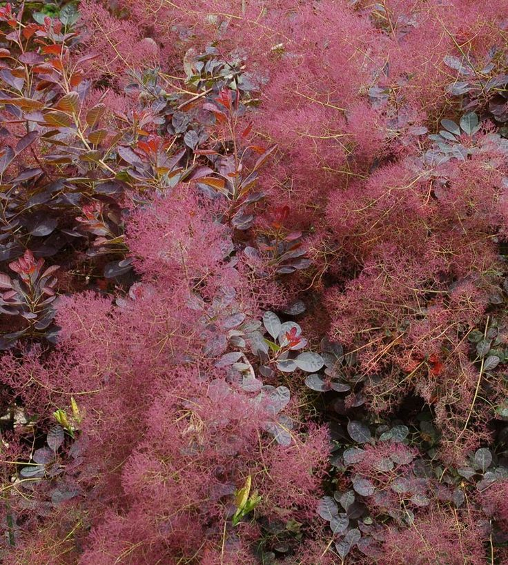 """Smoke bush - this is a wonderful bush for the garden. The blooms are very airy, thus the name """"smoke"""" bush. Also changes colors with the seasons. Highly drought tolerant, tree/shrub"""