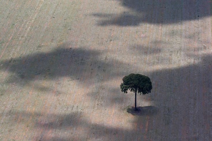 A sole Brazilian Nut Tree, isolated because of the deforestation and a degraded environment, sits on the land, December 2008. Rodrigo Baleia...