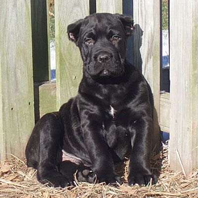Cane Corso Puppies | Cane Corso Breeders | Cane Corso Mastiff ......so cute, but I hate the clipped ears.