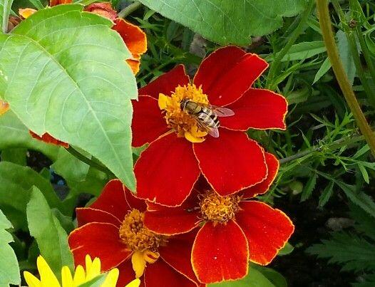 Bee taking flower's liquid for making honey 👍