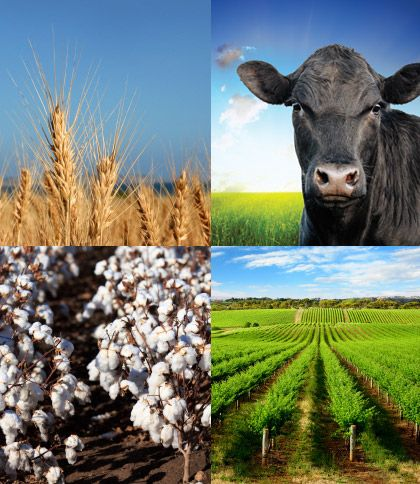Australia's agriculture is wheat, barley, sugarcane, fruits, cattle, and poultry. The cow above represents poultry and cattle, and the wheat shows how Australia grows wheat. Also,  they grow cotton for clothing and make sugarcane. Only 3.6% of workers work in the field of agriculture.