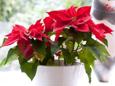 A Traditional Christmas Flower