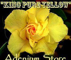 Adenium Obesum 'King Pure Yellow' (5 Seeds)
