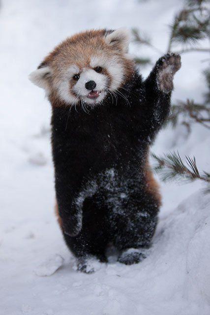 Red panda says ohai