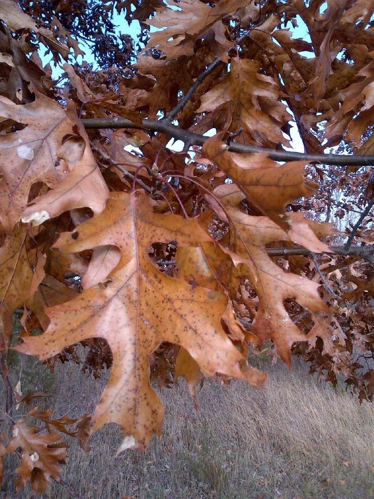 Oaks on the Oak Savanna.