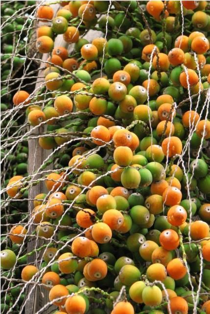 Palm Tree Fruit in orange and green fruits ~ i have seen birds eat these not sure if they are edible or tasty enough for people..