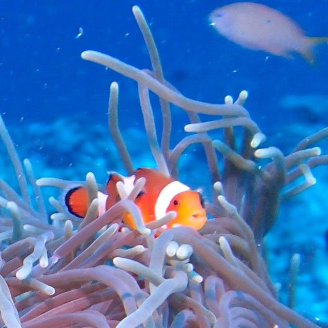 Explore the #nature! #Clownfish #ScubaDiving   Photo credits: @mermaids_lifestyle
