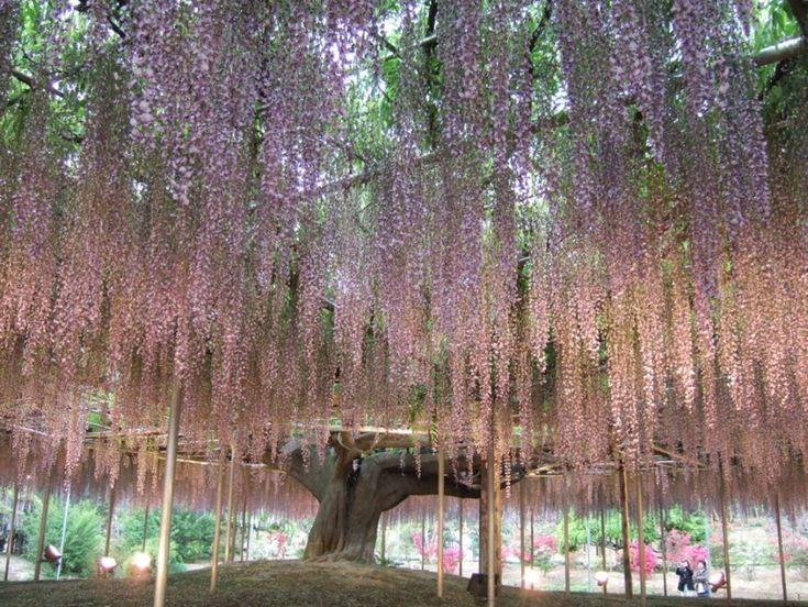 Il glicine del Parco floreale di Ashikaga, a Tochigi, in Giappone